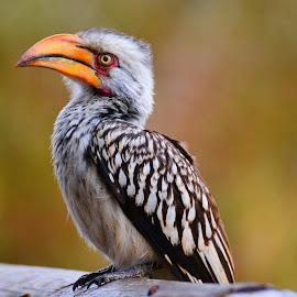 Hornbill by Diane Rogers Jones - Novices Only Wildlife (  )