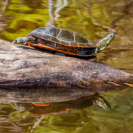 Painted Turtle by Dave Lipchen - Animals Reptiles ( painted turtle )