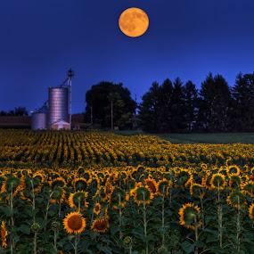 Sunflower Moon by Jim Crotty - Landscapes Prairies, Meadows & Fields ( moon sunflowers sunflower farm field summer yellow springs ohio jim crotty,  )