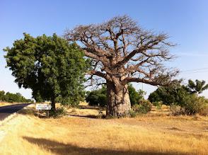 Photo: Baobab, Senegal
