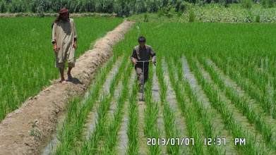 Photo: Farmers using SRI manual weeders at Wazer, Sujani village, Kunduz. [Photo Courtesy of Ali Muhammad Ramzi, 2013]
