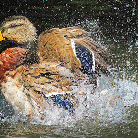 Mallard Bathing by Steve Shelasky - Animals Birds ( splash, mallard, duck, bath, bubbles,  )