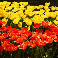 Parlano d'amore i tuli tuli tulipan di