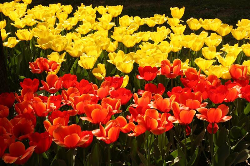 Parlano d'amore i tuli tuli tulipan di paolo-spagg