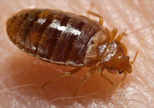 A bed bug. File picture.