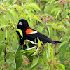 Red-winged Blackbird (Male)