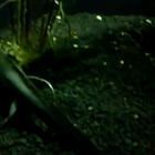 Barred Tiger Salamander (Juvenile)