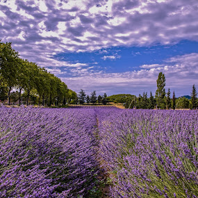Lavanta field by Arif Sarıyıldız - Landscapes Prairies, Meadows & Fields ( travel photography, purple flower, lavender field, provence, france, colourful )