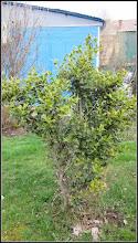 Photo: Laur (Ilex aquifolium variegata) - de pe Str. Andrei Muresanu, spatiu verde - 2018.03.30