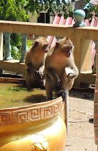 Photo: Храмовые обезьянки