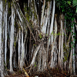Banyan Tree Beauty by Beth Bowman - Nature Up Close Trees & Bushes (  )