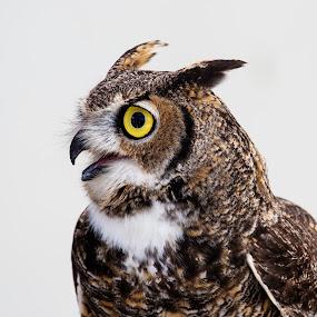 Uncle Owl by Ken Wade - Animals Birds ( owl, bubo virginianus, ojai raptor center, great horned owl,  )