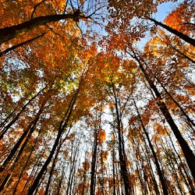Autumn in Ohio by Dave Feldkamp - Nature Up Close Trees & Bushes ( orange, autumn leaves, fall colors, autumn, blue, green, fall, autumn colors, yellow, black,  )