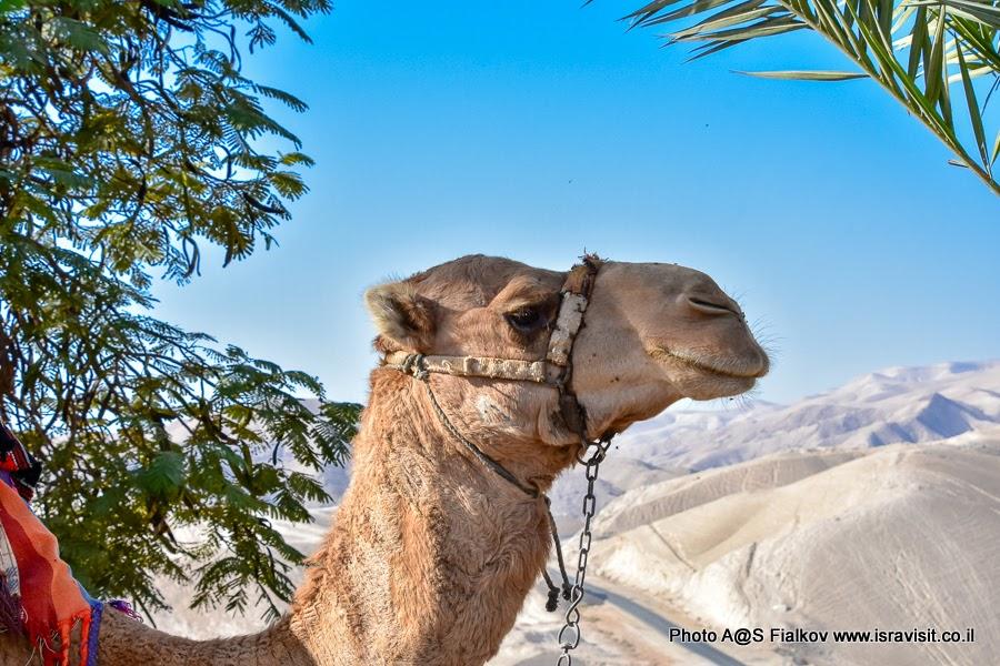 Верблюд Шуши. На экскурсии в Израиле. В Иудейских горах.