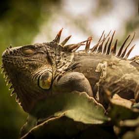 Sleepy Evening by Gabriel Cabrera - Animals Reptiles ( iguana, sleeping, reptile, close up, animal )