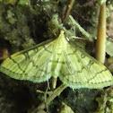 Hollow-spotted Blepharomastix Moth
