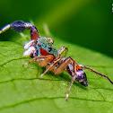 Metallic jumper, Colorful jumping spider, Jade jumping spider.