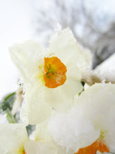 Photo: Snow and ice on daffodils at Cox Arboretum in Dayton, Ohio.