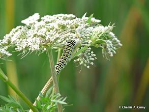 Photo: Black swallowtail caterpillar on Milk parsley