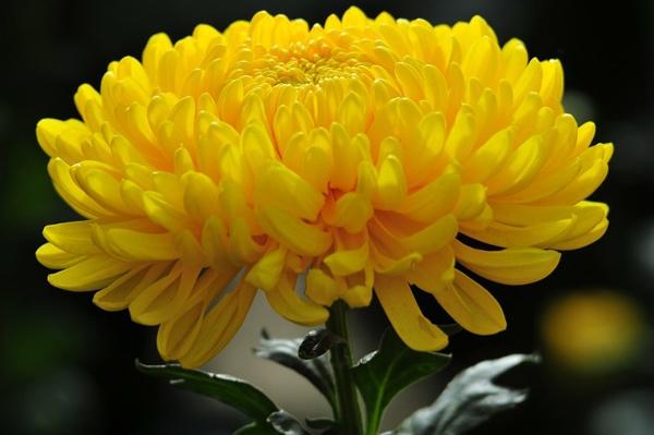 tri mun hoa-cuc.jpg