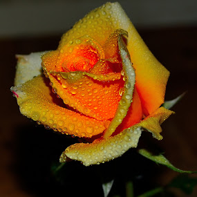 morning rose by Graeme Wilson - Nature Up Close Flowers - 2011-2013 ( rose, dew, beauty, morning, flower, rain )
