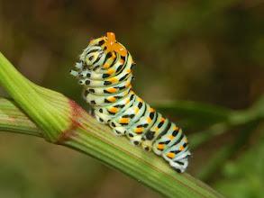 Photo: Caterpillar of a Machaon