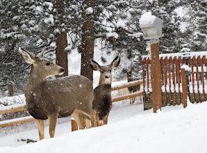 Photo: Winter mule deer family.