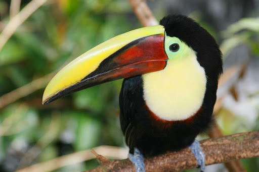 Toucan-caribbean.jpg - Encounter toucans and other exotic birds up close on a trip to the tropics.