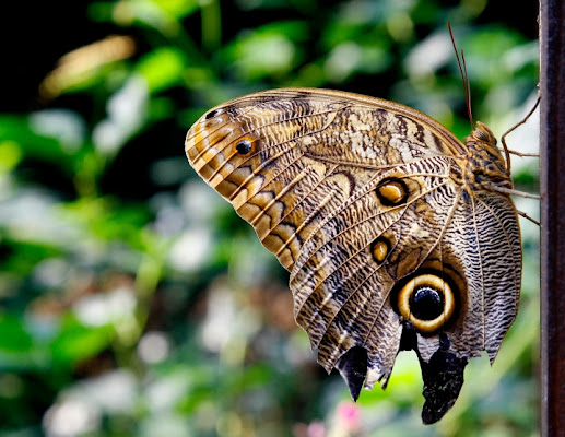 Butterfly di Orione