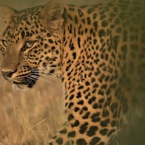 leopard by Saumitra Shukla - Animals Lions, Tigers & Big Cats ( leopard, mammal, cat, portraits, yellow, animal, travel, portrait, big cat, wild, eyes, wildlife )