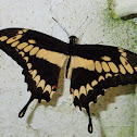 King/Thoas Swallowtail Butterfly
