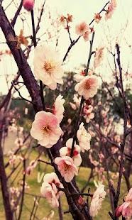 Plum blossom - náhled