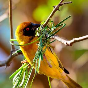 Weaving a Nest by Hannes van Rooyen - Animals Birds ( southern, masked weaver, male, adult,  )