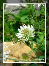 Photo: Trèfle de montagne, Trifolium montanum