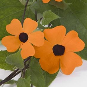 Image result for thunbergia orange beauty