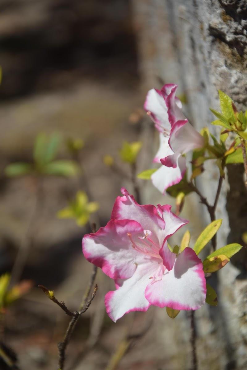 azalea sfollata  di fifibz