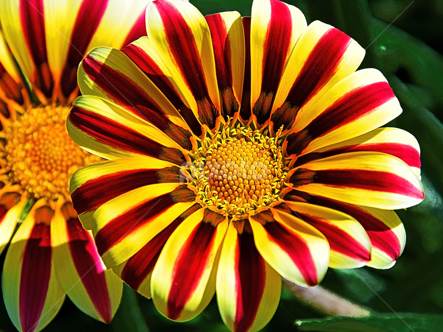 beautiful gazanias by LADOCKi Elvira - Flowers Flower Gardens (  )