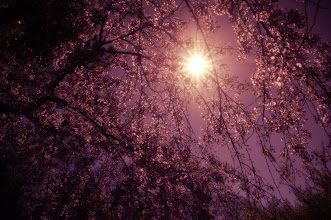 """Photo: """"Night's afterglow...""""  Through the sky's shadowed embrace, the sun pulls back the curtain of night.  And the earth basking in night's afterglow stirs slowly under the sun's radiance as each tree awakens to the promise a new day.    New York Photography: Sun through a weeping cherry blossom tree.    You can view this post along with information about where to purchase prints of this image if you wish at my site here:  http://nythroughthelens.com/post/27694309239/sun-through-weeping-cherry-blossom-trees  -  Tags: #photography  #nyc  #newyorkcity  #newyorkcityphotography  #nature  #naturephotography  #poetry  #writing  #prose  #brooklyn  #cherryblossoms  #weepingcherryblossom  #sun  #tree"""