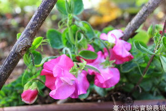 Photo: 拍攝地點: 梅峰-溫帶花卉區 拍攝植物: 香碗豆 拍攝日期: 2015_01_15_FY