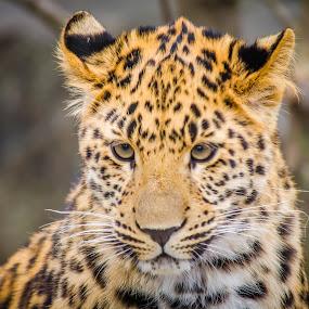 Pensive Leopard by Lynn Kirchhoff - Animals Lions, Tigers & Big Cats ( big cat, spots, cat, zoo, pensive, mammal, leopard, animal,  )