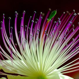 the caper flower by Carmelo Parisi - Flowers Flower Arangements