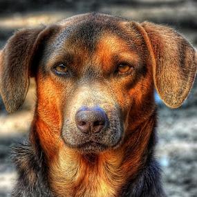 by Zoran              Radunovic - Animals - Dogs Portraits