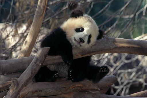 panda.jpg - Striking a pose: One of the three panda bears at the San Diego Zoo.