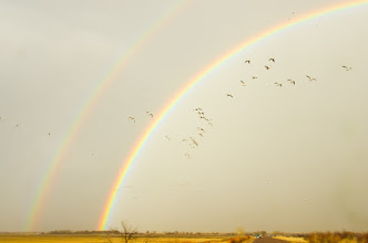 Photo: Snow geese passing through a double rainbow.