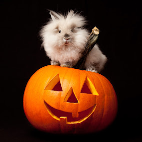 Such a Treat by Evelyn Ford - Animals Other ( bunny, pumpkin, lionhead )
