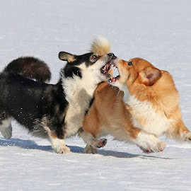 Click! by Mia Ikonen - Animals - Dogs Playing ( running, mia ikonen, pembroke welsh corgi, action, winter, playing, finland )