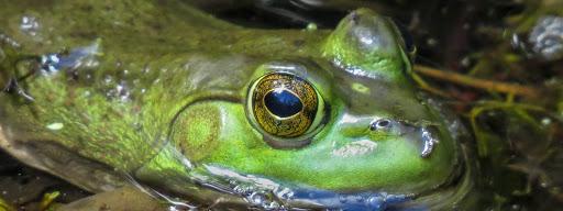 Bullfrog (Lithobates catesbeianus), , Park Ile Bizard, Montreal, 2014/09/07