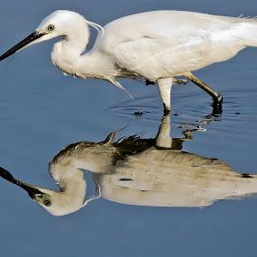 Egret by Wilfredo Garrido - Animals Birds ( animals, birds, egret )