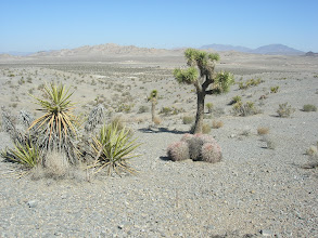 Photo: Looking North, Echinocactus, Y. brevifolia, Y. schidgera