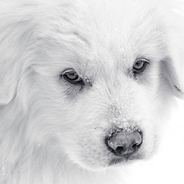 Great Pyrenees/Maremma Pup by Denise Johnson - Animals - Dogs Puppies ( maremma sheepdog, puppy, black and white, great pyrenees, puppies,  )